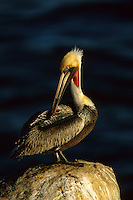 A brown pelican (Pelecanus occidentalis) preening.  La Jolla, California.  Dec 2000.