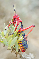 Common Milkweed Locust, Namaqua National Park, Northern Cape, South Africa,