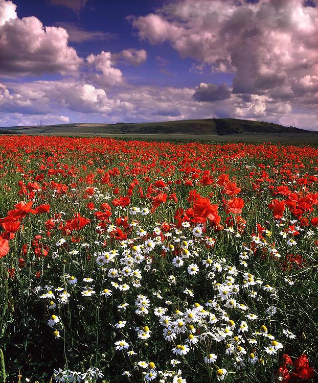 Poppy Field near Dunbar, East Lothian, Scotland.