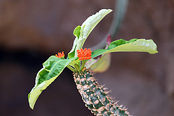14 May 2013:   Grafted cactus, blooming