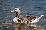 Graylag goose, Anser anser, on Tarn Hows lake, in the Lake District National Park, Cumbria, UK