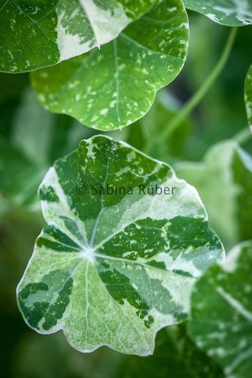Tropaeolum majus 'Alaska'- nasturtium