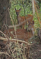 Pair of Whitetail fawns, Institute Woods, Princeton, NJ