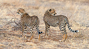 Two cheetah cubs in Samburu National Reserve, Kenya.