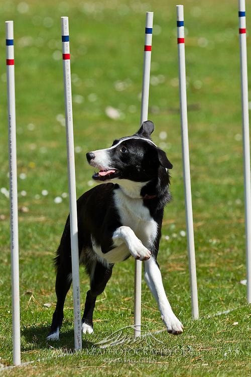 Southland Dog Training Club photos of agility training, Invercargill, New Zealand
