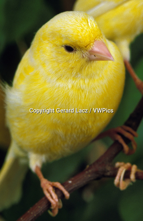 Yellow Canary, serinus canaria, Adult standing on Branch