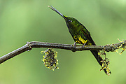 Empress Brilliant (Heliodoxa imperatrix)<br /> Mashpi Rainforest Biodiversity Reserve<br /> Pichincha<br /> Ecuador<br /> South America