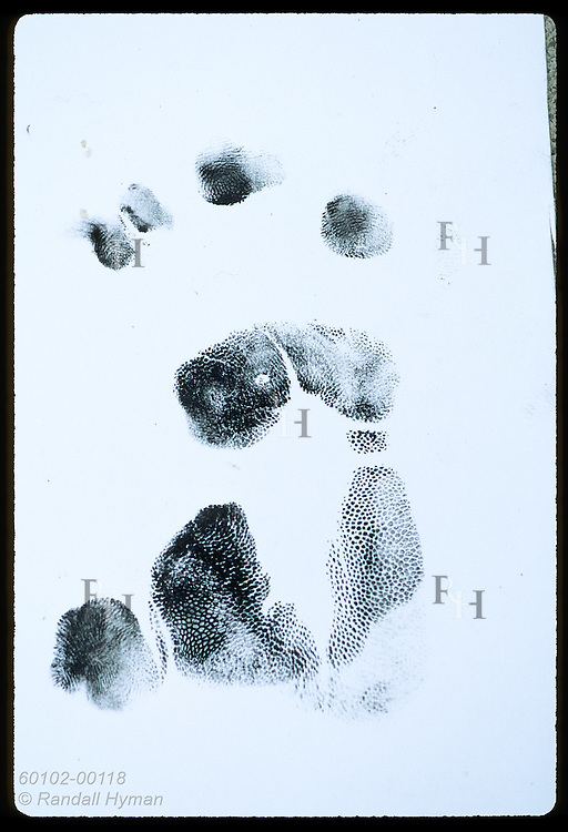 Koala's fingerprint card reveals dots and lines that make each animal's hind paw print unique. Australia