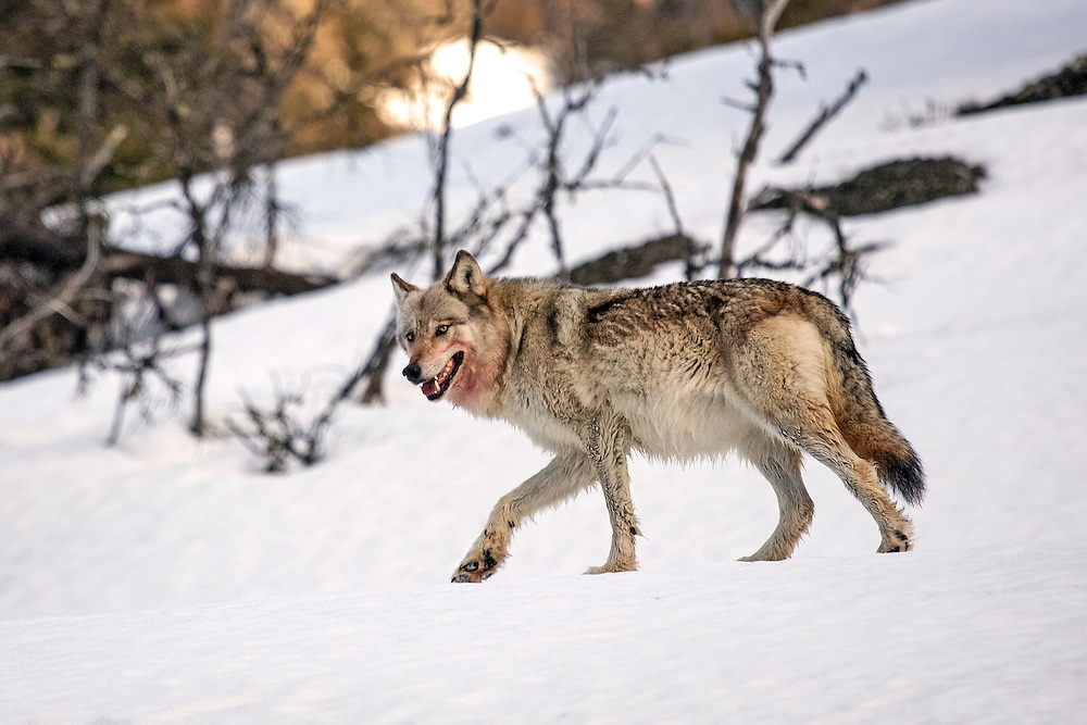 Since wolves may have to wait for days between big kills, they eat a lot when they can and often consume more than 20 pounds of meat in one sitting.  This wolf was photographed as she returned to her den after feasting on an elk kill.