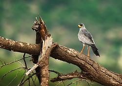 Eastern Chanting Goshawk (Melierax poliopterus) in Samburu, Kenya