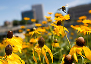 A bumblebee flies among the wildflowers growing along the Cedar River in the McGrath Amphitheater in downtown Cedar Rapids on Thursday, July 14, 2016. Following the 2008 flood, the banks of the river have been revitalized to include walking paths, ample seating, shade and nighttime lighting.