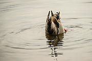 Mallard drake feeding in the shallows of Lake Washington