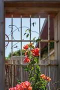 flowering orange bougainvillea plants Photographed in Neve Tzedek, Tel Aviv, Israel in May