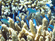 Bright blue damselfish (Chromis viridis) in an Acropora coral, Kadavu, Fiji.