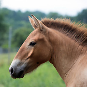 FRONT ROYAL, VA - JUL24: A Przewalski horse at the Smithsonian Conservation Biology Institute in Front Royal, Virginia, July 24, 2014. The horses were considered extinct in the wild until 2008, when the World Conservation Union reclassified them as critically endangered. Scientists at the Zoo are working to increase the genetic diversity of Przewalski's horses. Photo by Evelyn Hockstein/For The Washington Post)