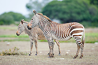 Cape Mountain zebra and foal, De Hoop Nature Reserve and marine protected area, Western Cape, South Africa