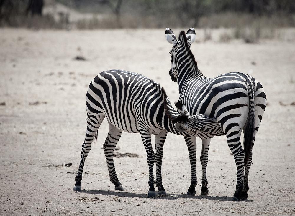 Zebra in Ruaha National Park, Tanzania