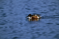 A Northern shoveler (Anas clypeata) on Tule Lake.
