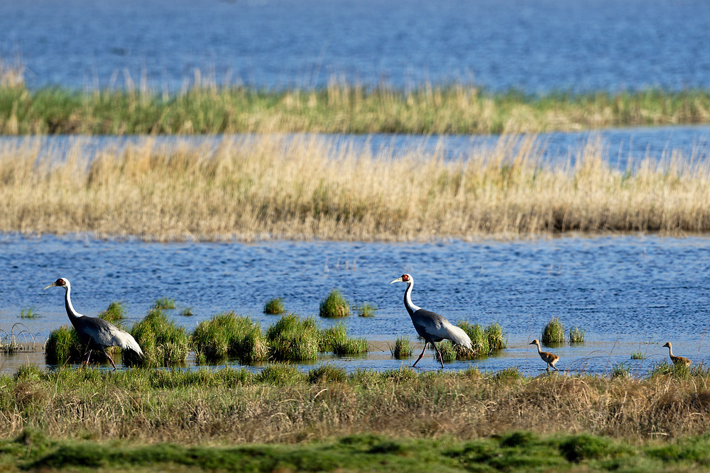A pair of white-naped cranes parent with chicks walking along a desert lake, central Inner Mongolia, China. 一对白枕鹤与小鹤,内蒙古中部,中国。