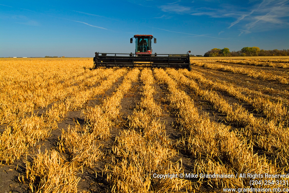 Harvesting beans with swather