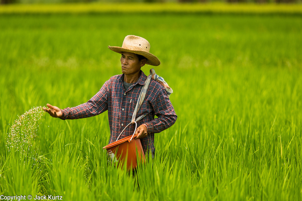 25 APRIL 2014 -  MAE CHAN, CHIANG RAI, THAILAND: A farmer in Mae Chan, in Chiang Rai province, fertilizes his rice field by hand. Government officials have warned that Chiang Rai province in northern Thailand could face a drought this year brought on by lower than normal dry season rains. At the same time, closing dams in Yunnan province of China has caused the level of the Mekong River to drop suddenly exposing rocks and sandbars in the normally navigable Mekong River. Changes in the Mekong's levels means commercial shipping can't progress past Chiang Saen. Dozens of ships are tied up in the port area along the city's waterfront.          PHOTO BY JACK KURTZ
