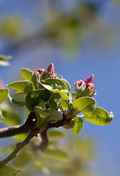 THEMENBILD - Knospen eines blühenden Apfelbaum, aufgenommen am 22. April 2018, Kaprun, Österreich // Buds of a blossoming apple tree on 2018/04/22, kaprun, Austria. EXPA Pictures © 2018, PhotoCredit: EXPA/ Stefanie Oberhauser