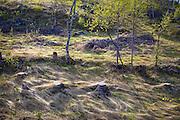 Vårstemning i skogen, med flatt gammelgress og løvsprett på bjørka. Vikvarvet i Selbu.