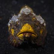 Yellow flasher scorpionfish (Scorpaenopsis macrochir) in the muck of Lembeh Strait, Indonesia