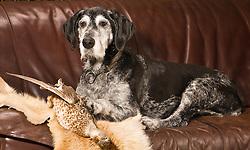 THEMENBILD - Der Deutsch Drahthaar ist eine Variante des deutschen rauhaarigen Vorstehhundes, der Ende des 19. Jahrhunderts gezüchtet wurde // The German Wirehaired Pointer is a variant of German wire-haired pointing dog that was bred end of the 19th century, pictured in Stuttgart, Germany on 2015/03/02. EXPA Pictures © 2015, PhotoCredit: EXPA/ Eibner-Pressefoto/ Baumann<br /> <br /> *****ATTENTION - OUT of GER*****