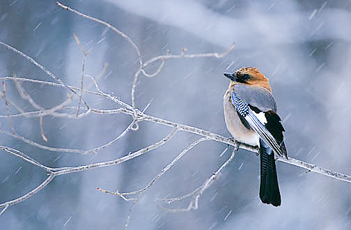 Jay, (Garrulus brandtii) Japan, winter.