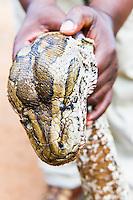 African Rock Python recovered alive after arrest of poaching gang., Hlane Royal National Park, Swaziland
