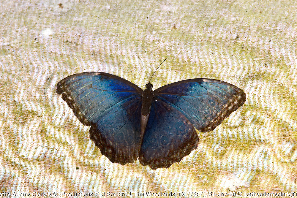 Morpho peleides, above with irridescence, Costa Rica.