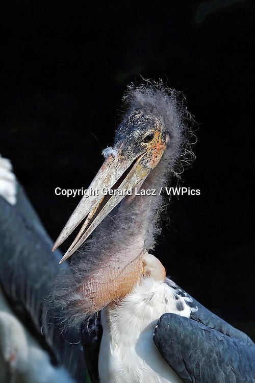 Marabou Stork, leptoptilos crumeniferus, Portrait of Adult, Masai Mara Park in Kenya
