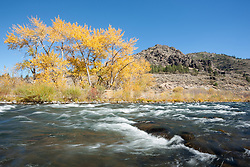 """Truckee River in Autumn 15"" - Photograph of yellow leaved cottonwood trees, taken along the shore of the Truckee River in Autumn."