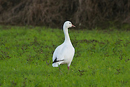 Snow Goose photos