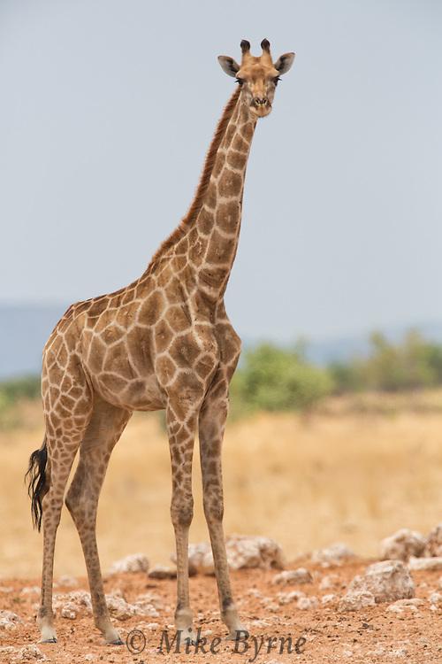 Giraffe in Etosha National Park, Namibia.