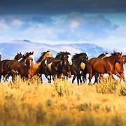 2011 western horse calendar, august, movin' on out, bar horseshoe ranch, mackay, idaho