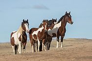 A colorful band of wild horses, leg by the mare, Topeka, and her young colt, Tishamingo, gather above a waterhole at McCullough Peaks HMA outside Cody, Wyoming.