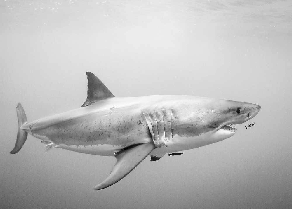 This large white shark was the most active of the sharks our group saw while cage diving at Guadalupe Island, Mexico. While the warmer waters kept many of the sharks in deeper water for the duration of our trip, on a few occasions this shark ventured up for a closer look.