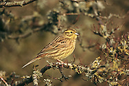 Yellowhammer - Emberiza citrinella - winter female/1st winter.  L 15-17cm. Colourful bunting with diagnostic song. Forms flocks outside breeding season. Sexes are dissimilar. Adult male has mainly yellow head and underparts, and reddish brown back and wings. Note faint dark lines on head, chestnut flush to breast and streaking on flanks; rump is reddish brown and bill is greyish. In winter, similar but duller and more streaked. Adult female has streaked greenish grey head and breast, streaked pale yellow underparts and brown back; note reddish brown rump. Juvenile is similar to adult female but more streaked. Voice Has a rasping call. Song is rendered 'a little bit of bread and no cheese'. Status Fairly common resident of farmland and open country with scrub and hedges. Winter flocks often feed on arable fields.