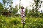 Brudespore, Gymnadenia conopsea. The Fragrant Orchid. Stugudal i Tydal, Sør-Trøndelag.