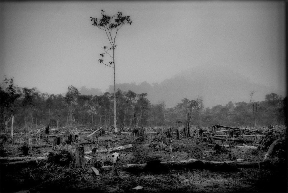 Land clear cut and burnt to open the way for either an oil palm plantation or for coconut palms, West Kalimantan, Indonesian Borneo.