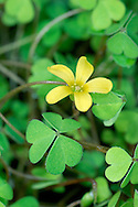 PROCUMBENT YELLOW-SORREL Oxalis corniculata (Fabaceae) Prostrate. Creeping, downy perennial of dry, bare ground. FLOWERS are 6-10mm across and bright yellow; borne on stalks (May-Sep). FRUITS are capsules, borne on reflexed stalks. LEAVES are trefoil, with notched leaflets. STATUS-Garden escape, naturalised locally.