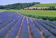 Lavender field near Venasque,Vaucluse,Provence,France,Europe