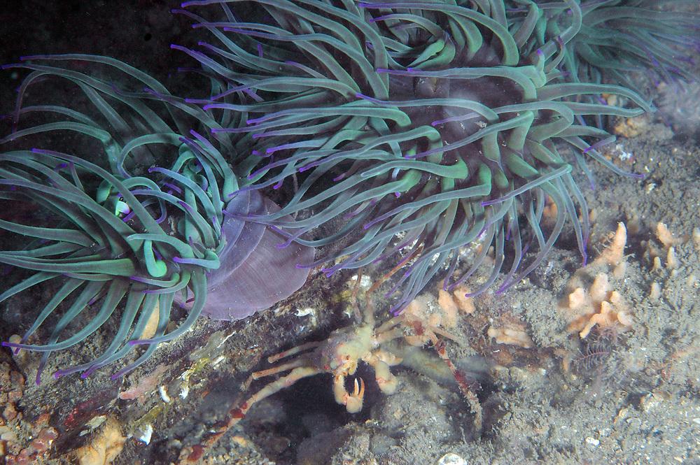 Leach's spider crab (Inachus phalangium) and Snakelocks anemone (Anemonia viridis). Location : Cornwall, England