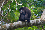 Black Howler Monkey - Alonatta caraya