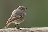A black redstart perches on a log, Parc de l'Oreneta, Barcelona, Spain.