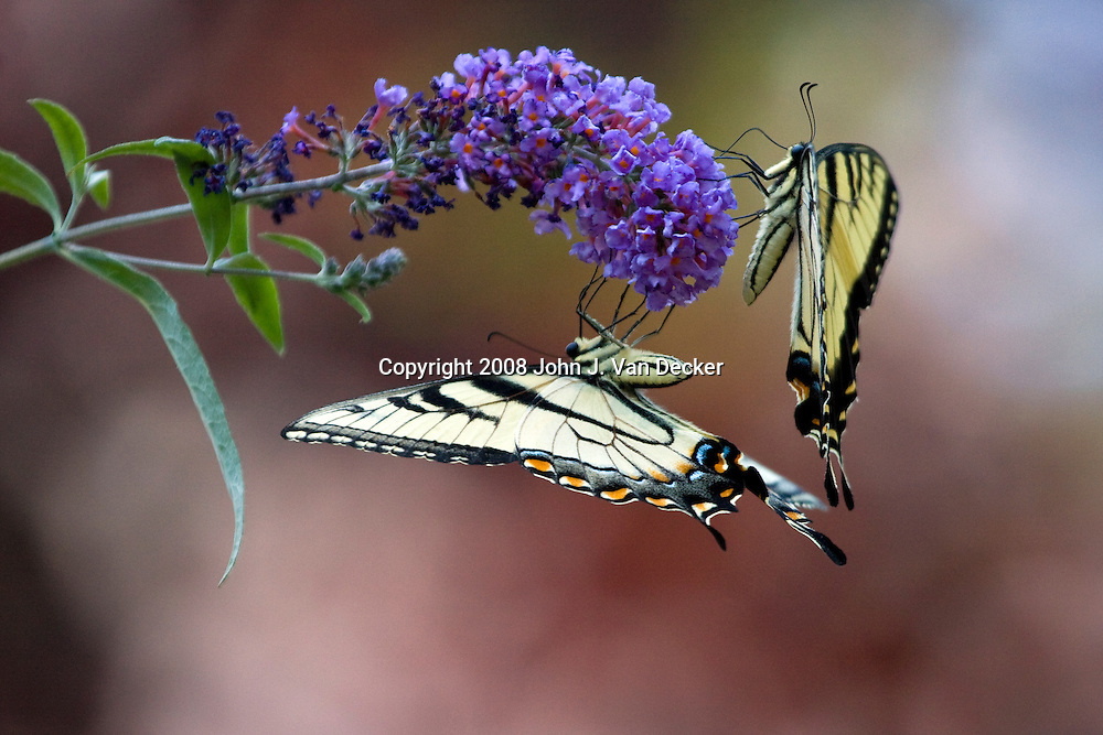 Two Tiger Swallowtail Butterflies on a purple lilac flower, Papilio glaucus