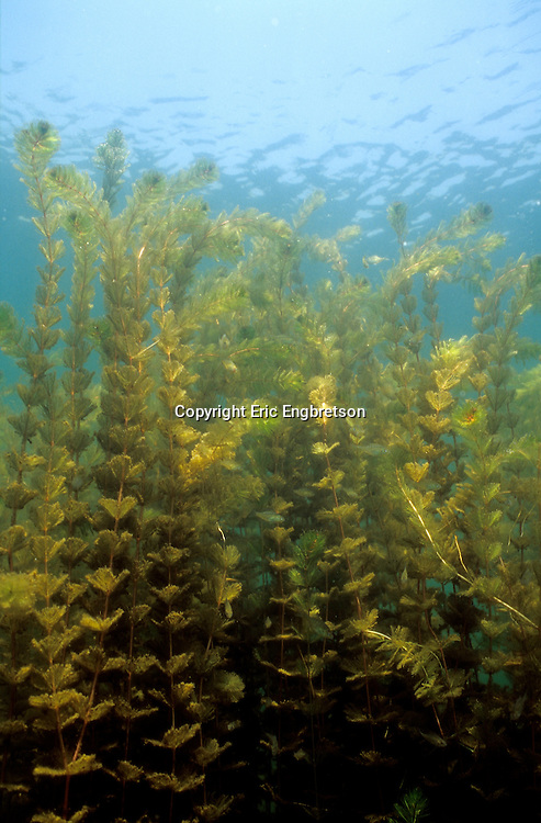 Eurasian Watermilfoil<br />