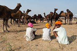"© Licensed to London News Pictures. 21/11/2012. Pushkar, India. Indian camel traders sit before their camels at the Pushkar Camel Fair in Rajasthan, India. The Pushkar Fair, or Pushkar ka Mela, is the annual five-day camel and livestock fair, held in the town of Pushkar in the state of Rajasthan, India. It is one of the world's largest camel fairs, and apart from buying and selling of livestock it has become an important tourist attraction and its highlights have become competitions such as the ""matka phod"", ""longest moustache"", and ""bridal competition"".  Photo credit : Richard Isaac/LNP"